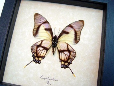 Real framed butterfly Eurytides dolicaon verso museum shadowbox display 3
