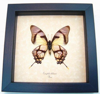 Real framed butterfly Eurytides dolicaon verso museum shadowbox display