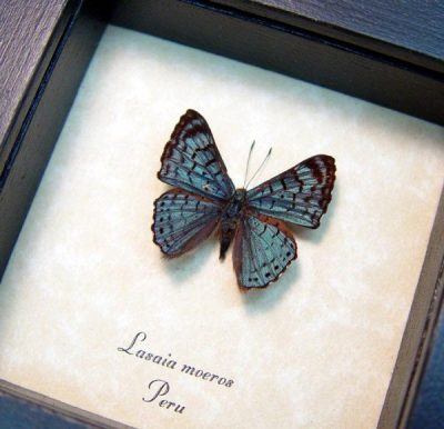 real framed butterfly green lasaia moeros 3