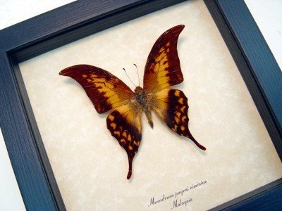 Real framed butterfly meandrusa-payeni-ciminius museum shadowbox display 2