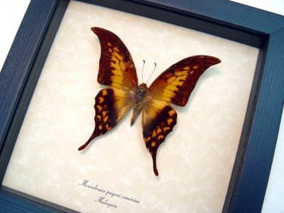 Real framed butterfly meandrusa-payeni-ciminius museum shadowbox display.