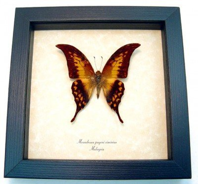 Real framed butterfly meandrusa-payeni-ciminius museum shadowbox display