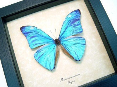 Real framed butterfly museum shadowbox display. Beautiful blue Morpho adonis 2