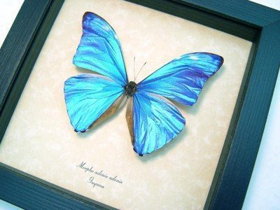 morpho adonis real framed metallic blue shimmery butterfly 3