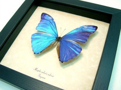 morpho adonis real framed metallic blue shimmery butterfly 4