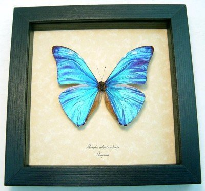 Real framed butterfly museum shadowbox display. Beautiful blue Morpho adonis