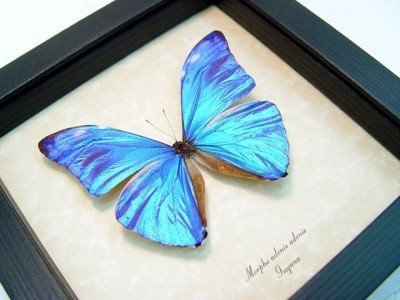 morpho adonis real framed metallic blue shimmery butterfly 5