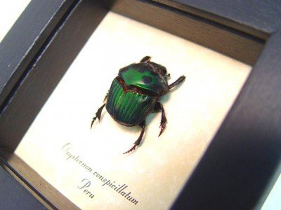 real framed beetle green oxysternon-conspicillatum scarab 3