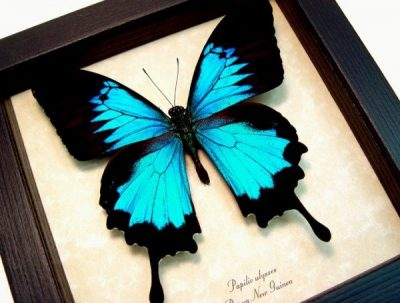 real framed butterfly Blue mountain swallowtail papilio-ulysses-2