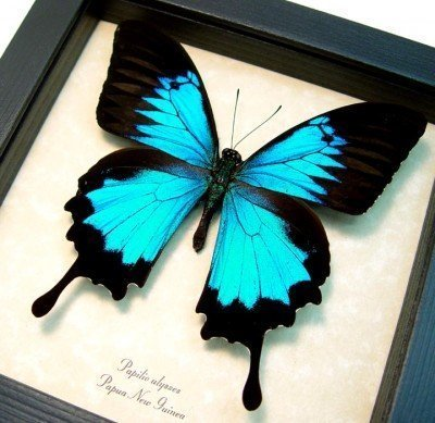 real framed butterfly Blue mountain swallowtail papilio-ulysses-3