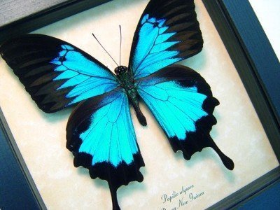 real framed butterfly Blue mountain swallowtail papilio-ulysses-4
