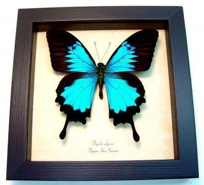 real framed butterfly Blue mountain swallowtail papilio-ulysses