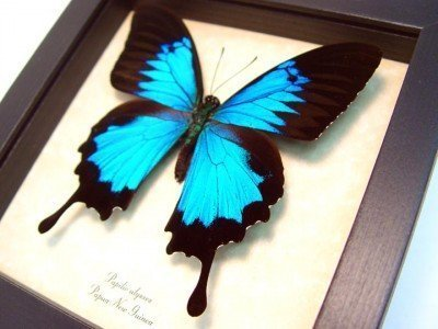 real framed butterfly Blue mountain swallowtail papilio-ulysses-5