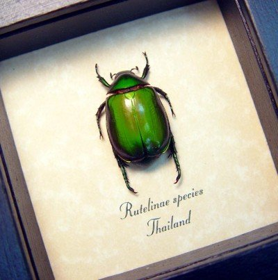 real framed insect rutelinae green leaf beetle 2