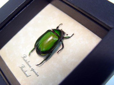 real framed insect rutelinae green leaf beetle 4