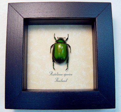 real framed insect rutelinae green leaf beetle