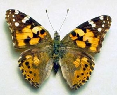 Vanessa cardui Popular USA Painted Lady Real Framed Butterfly