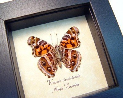 real framed butterfly vanessa virginiensis painted lady 2