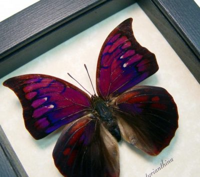 Anaea Tyrianthina Male Real Framed Purple Butterfly