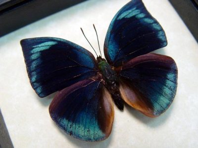 Anaea polyxo Real Framed Blue Round Wing Butterfly Peru