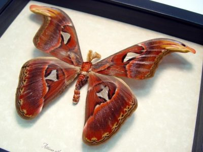 "Attacus Atlas Male 5 1/2""+ Wingspan Snake Head Real Framed Moth"