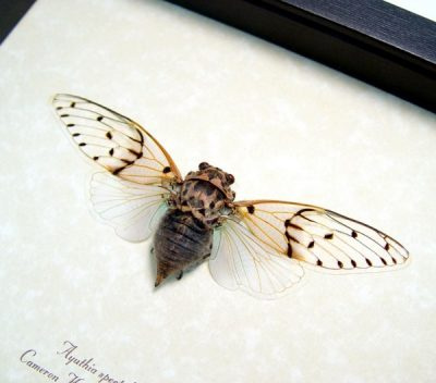 Ayuthia spectabilis Real Framed White Blue Ghost Cicada