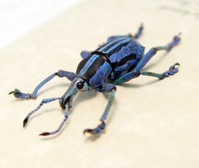 Real framed purple weevil papua new guinea rare EUPHOLUS BENNETTI purple front 3