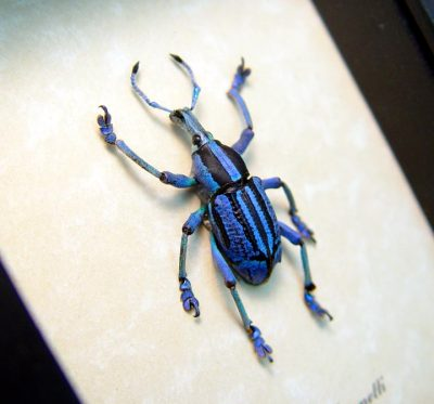 Real framed purple weevil papua new guinea rare EUPHOLUS BENNETTI purple side 4