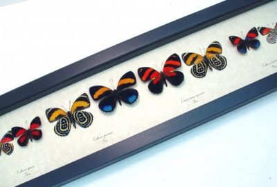 Callicore set 8 Real Framed Colorful Blue Orange Red Butterflies