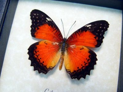 Cethosia biblis Red Lacewing Red Markings Real Framed Butterflies