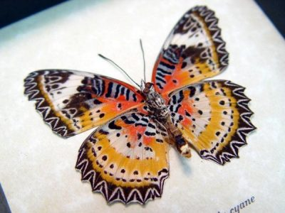 Cethosia cyane verso Leopard Lacewing Zig zag Red Orange Markings Real Framed Butterfly