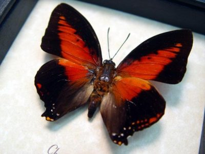 Charaxes zingha Shining Red Charaxes Real Framed African Butterfly