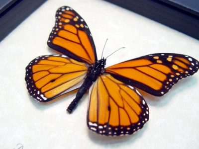 Danaus plexippus Real Framed Monarch Butterfly