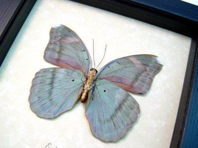 Euphaedra spatiosa female Green Forester Real Framed African Butterfly