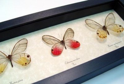 Glasswing Butterfly Collection Real Framed Peach Gold Pink Butterflies