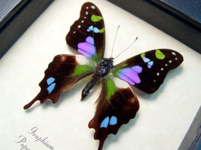 Graphium weiskei Purple Spotted Swallowtail Butterfly