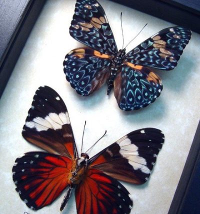 Hamadryas amphinome pair Red Cracker Butterflies
