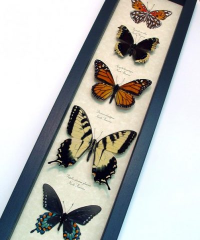 N. American Butterfly Collection Real Framed Butterflies
