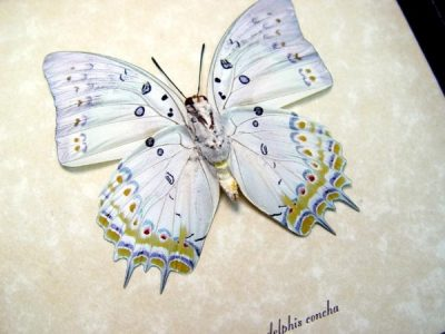 Polyura delphis concha Verso Jewel Nawab Real Framed Butterfly