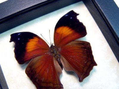 Salamis Cacta Lilac Mother-of-Pearl or Lilac Beauty Real Framed Butterfly