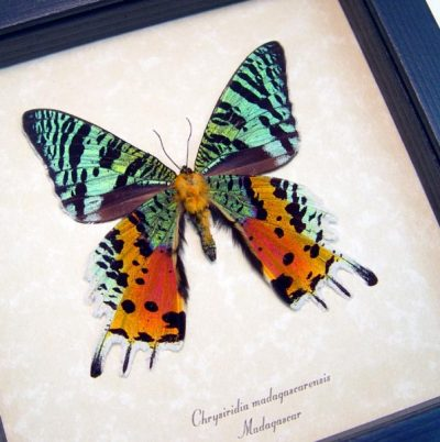 Sunset Moth Verso Real Framed Madagascar Colorful Day Flying Moth